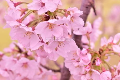 桜の花アップの写真素材 [FYI04289845]