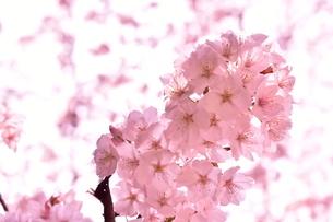 桜の花アップの写真素材 [FYI04289851]