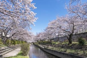 元荒川の桜並木の写真素材 [FYI04289864]