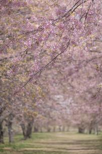 北浅羽桜堤公園の安形寒桜の写真素材 [FYI04289865]