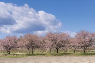 北浅羽桜堤公園の安形寒桜の写真素材 [FYI04289866]