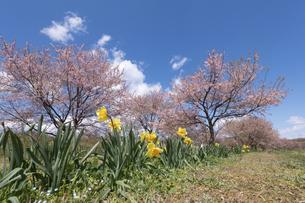 北浅羽桜堤公園の安形寒桜と水仙の写真素材 [FYI04289867]