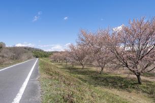 北浅羽桜堤公園の安形寒桜の写真素材 [FYI04289868]