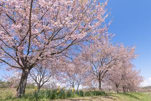 北浅羽桜堤公園の安形寒桜の写真素材 [FYI04289869]