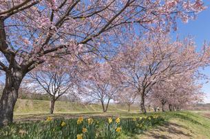 北浅羽桜堤公園の安形寒桜の写真素材 [FYI04289870]