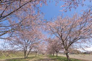 北浅羽桜堤公園の安形寒桜の写真素材 [FYI04289871]