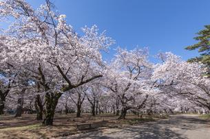 桜咲く大宮公園の写真素材 [FYI04289878]