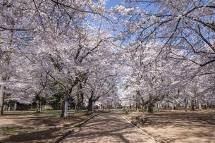 桜咲く大宮公園の写真素材 [FYI04289885]