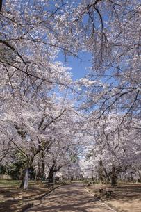 桜咲く大宮公園の写真素材 [FYI04289886]