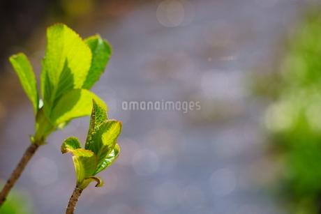 川沿いに力強く葉をつける新芽の写真素材 [FYI04289906]