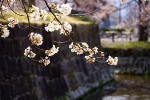 堀と石垣のある公園に咲く桜の写真素材 [FYI04289907]