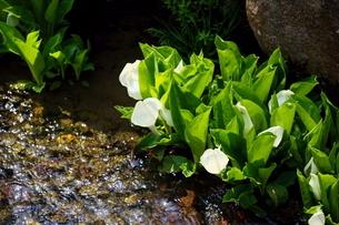 春に咲くミズバショウの写真素材 [FYI04289910]