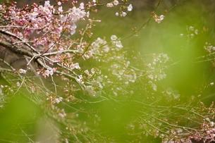 新緑の奥に桜の写真素材 [FYI04289913]