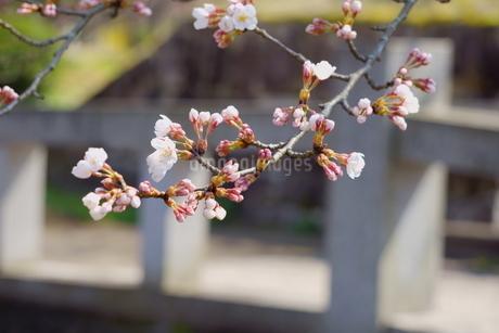 石橋の手前に咲く三分咲きの桜と蕾の写真素材 [FYI04289915]