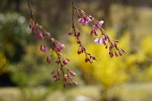 春の公園に咲くしだれ桜の写真素材 [FYI04289917]