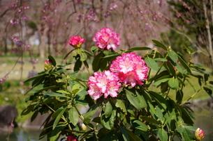 春の公園に咲く、セイヨウシャクナゲの写真素材 [FYI04289919]