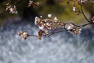 池の噴水から飛び散る水に太陽の光が当たってキラキラ輝く、春の公園に咲く桜の写真素材 [FYI04289920]