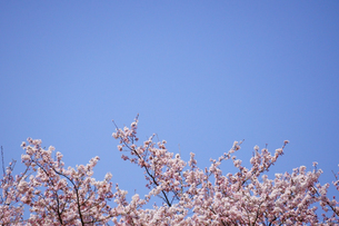 青空に咲く、ピンク色の桜の写真素材 [FYI04289923]
