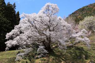 4月 仏隆寺の千年桜の写真素材 [FYI04289928]