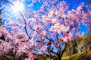 枝垂れ桜と晴天の青空の写真素材 [FYI04290012]