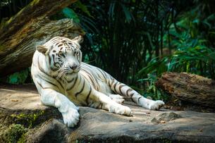 ジャングルに佇むホワイトタイガーの写真素材 [FYI04290080]