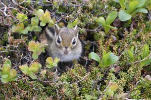 巣穴から顔を出すエゾシマリス(北海道・大雪山)の写真素材 [FYI04290134]