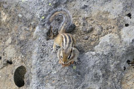 巣材を運ぶエゾシマリス(北海道・大雪山)の写真素材 [FYI04290136]