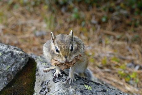 巣材を運ぶエゾシマリス(北海道・大雪山)の写真素材 [FYI04290138]