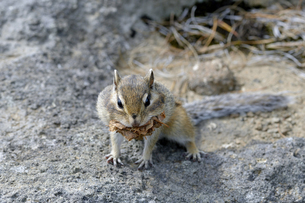 巣材を運ぶエゾシマリス(北海道・大雪山)の写真素材 [FYI04290139]