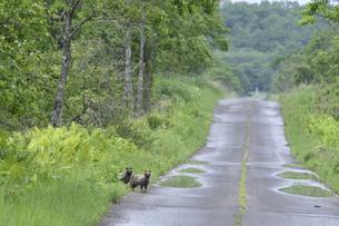 道路を横断するエゾタヌキ(北海道・鶴居村)の写真素材 [FYI04290145]