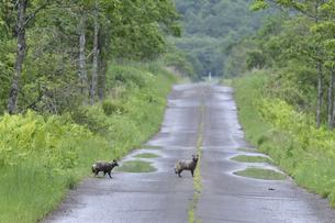 道路を横断するエゾタヌキ(北海道・鶴居村)の写真素材 [FYI04290148]