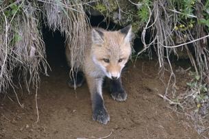 巣穴から出てきたキタキツネの幼獣(北海道・大樹町)の写真素材 [FYI04290159]