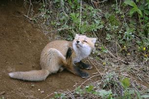 顔を掻くキタキツネの幼獣(北海道・大樹町)の写真素材 [FYI04290165]
