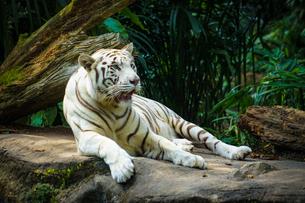 ジャングルに佇むホワイトタイガーの写真素材 [FYI04290174]