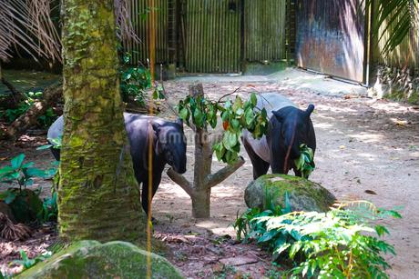 草を食べる野生のバクのイメージの写真素材 [FYI04290189]