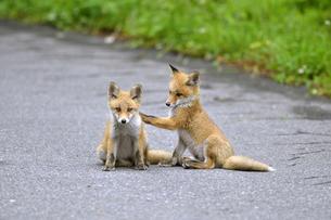 キタキツネの兄弟(北海道・知床)の写真素材 [FYI04290191]