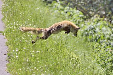 キタキツネの狩(北海道・知床)の写真素材 [FYI04290196]