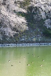 桜と堀にカモの写真素材 [FYI04290225]
