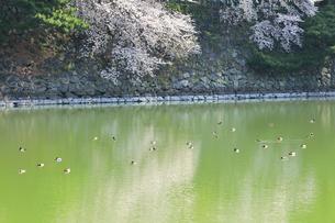 桜と堀にカモの写真素材 [FYI04290226]