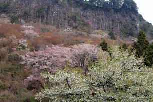4月 桜の屏風岩 -奈良県曽爾村-の写真素材 [FYI04290281]