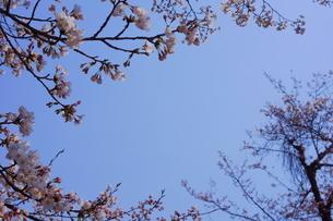 青空を取り囲むように咲く桜の写真素材 [FYI04290320]