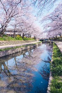 元荒川の桜並木の写真素材 [FYI04290441]
