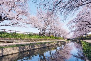 元荒川の桜並木の写真素材 [FYI04290459]