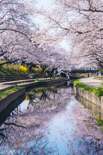 元荒川の桜並木の写真素材 [FYI04290466]