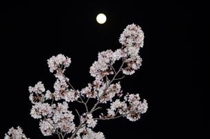 満月と夜桜1の写真素材 [FYI04290562]