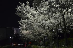 夜桜2の写真素材 [FYI04290563]