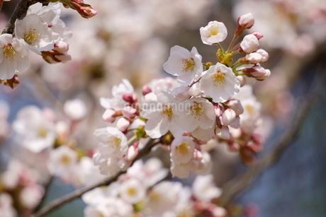 青空に満開の桜、ソメイヨシノの写真素材 [FYI04290622]