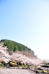 桜の写真素材 [FYI04290727]