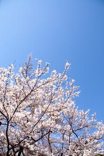 桜の写真素材 [FYI04290737]