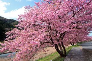 3月 伊豆半島の青野川の河津桜の写真素材 [FYI04290760]